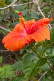 c3077 Hibiscus