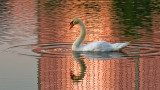 Swan in the Pink