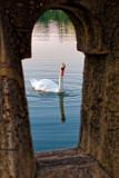 Swan through the Railing