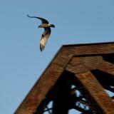 Osprey and Girders