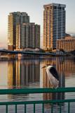 Night Heron and Southbank Condos