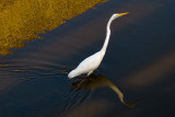 Egret with Reflections