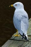 Some Kinda Gull