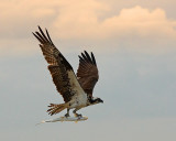 Osprey and Catch Two