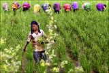 Weeding the rice fields