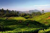 Valley of Tea