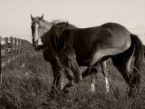 whiting bay horses - sepia