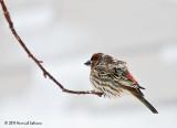 K238195-House Finch male.jpg