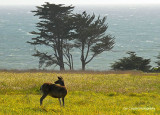 Coastal Bluff Deer