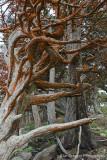 Tangled Pine