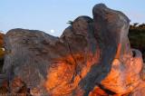 Fallen Cypress Red Glow