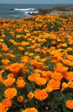 Bluff Poppies