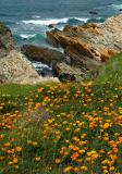 Cliff Poppies