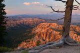 Bryce Point Bristlecone