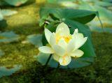 Incoming Lotus