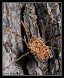 Harvestman Spider (daddy long legs) on a Tree