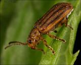 striped blister beetle (Epicauta vittata)