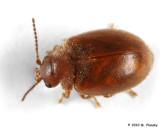 Pollen Beetle?