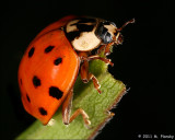 Ladybug on black