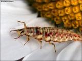 larval lacewing (Neuroptera)