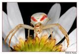 Crab or Goldenrod Spider
