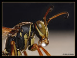Paper Wasp (Polistes fuscatus) bubble blowing