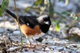 17 Cardinal to House Sparrow