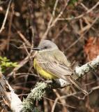 Tropical Kingbird 03.jpg