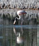 Greater Flamingo