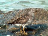 Surfbird