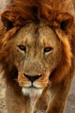 Male Lion, Ngorongoro Crater