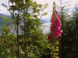 Foxgloves above the Sognefjord, near Balestrand, Norway