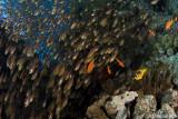 Anemone and glassfish