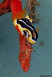 Chromodoris and Squat Lobster