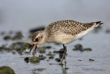 Black bellied Plover2 pb.jpg