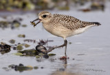 Black bellied Plover 3 pb.jpg
