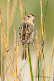 Sharp-tailed sparrow.jpg