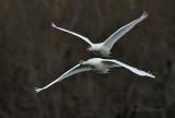 Swans pb.jpg