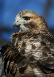 Red Tail Hawk 2 pb.jpg