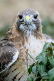 Red Tail Hawk pb.jpg