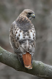 Red Tail Hawk 4 pb.jpg