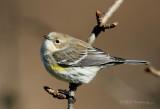 Yellow Rumped Warbler 2 pb.jpg