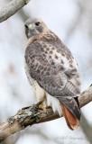Red Tail Hawk 5 pb.jpg