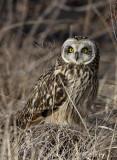 Short Earred Owl 2 pb.jpg