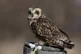 Short Earred Owl 3 pb.jpg