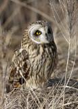 Short Earred Owl 4 pb.jpg
