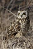 Short Earred Owl pb.jpg
