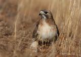 Red-tail hawk pb.jpg