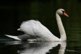Mute Swan pb.jpg