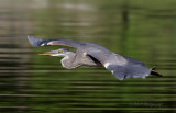 Great blue heron2 pb.jpg
